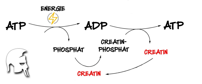 Das Creatin-Phosphat System Booster